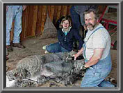 Shearing a gray male alpaca